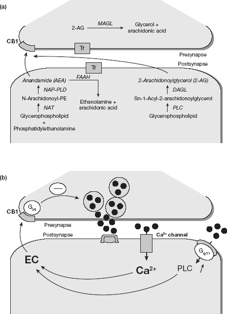 The endocannabinoid system. (a) Synthesis and degradation of the principal endocannabinoids, anandamide (AEA) and 2-arachidonoylglycerol (2-AG), in neurons. (b) Mechanisms underlying the retrograde action of endocannabinoids on transmitter release. DAGL: diacylglycerol lipase; FAAH: fatty acid amide hydrolase; MAGL: monoacylglycerol lipase; NAP-PLD: N-acylphosphatidylethanolamine-hydrolyzing phospholipase D; NAT: N-acyltransferase; PLC: phospholipase C; Tr: endocannabinoid transporter.