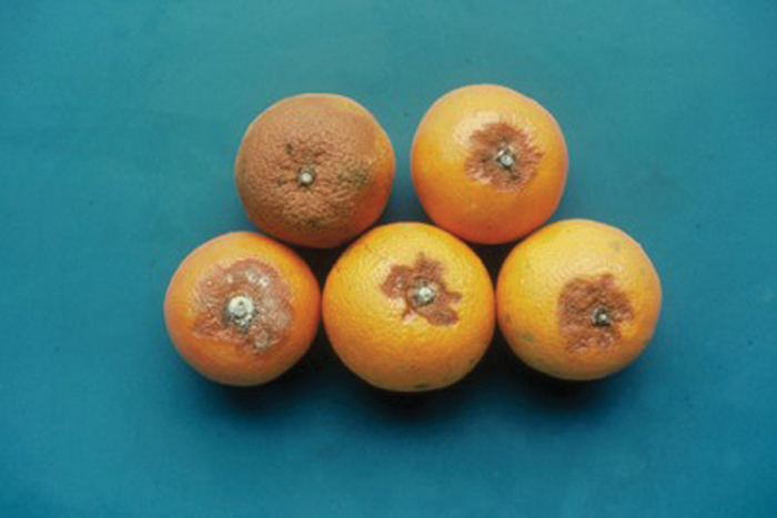 Alternaria infection causes rotten spots that may eventually cover as much as 1/4 of the fruit.