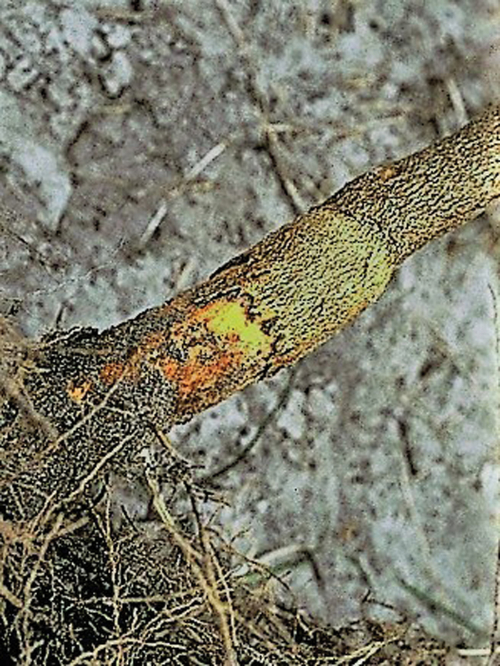 Phytophthora root rot.