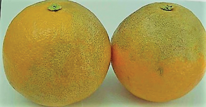 Anthracnose symptoms on citrus fruit.