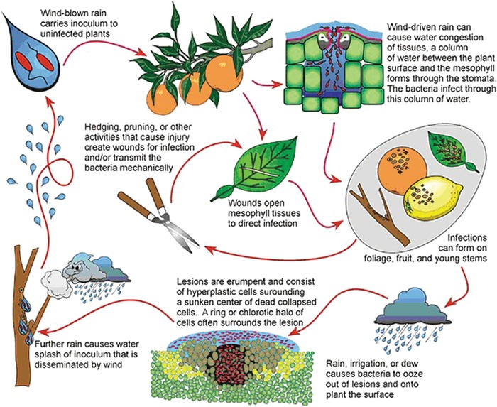 Citrus canker disease cycle. Image from