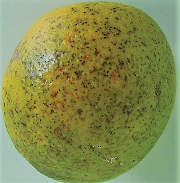 Early virulent form of citrus black spot.
